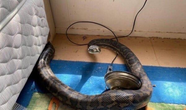 Житель Австралии вернулся из отпуска и обнаружил, что его жилище пережило погром в результате драки двух змей Позже их отловили