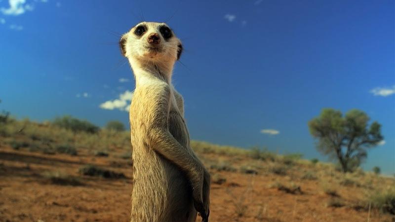Meerkat Gang vs Robot Cobra Spy In The Wild BBC Earth