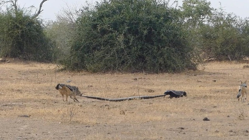 Python Honey Badger Jackal Fight Each Other