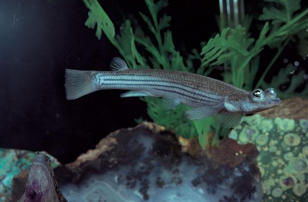 Четырехглазки потрясающие рыбы, у которых 2 глаза и 4 зрачка Оказывается, на Американском континенте и островах Карибского моря живут необычные рыбки, у которых каждый глаз содержит по два