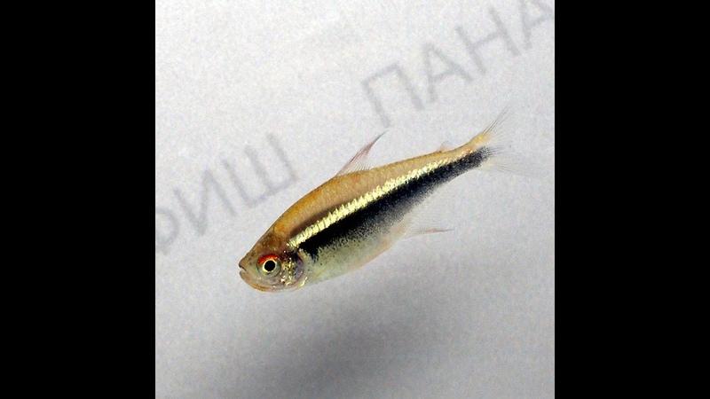 Неон чёрный (Hyphessobrycon herbertaxelrodi)