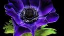 Цветы распускаются. Восхитительная красота Природы HD 720