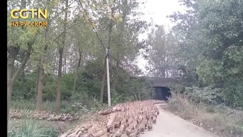 Утиные войска выходят на тропу войны с саранчой