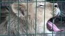 Львенок Симба, которого спасли в челябинском зооприюте, готовится отправиться в Африку.