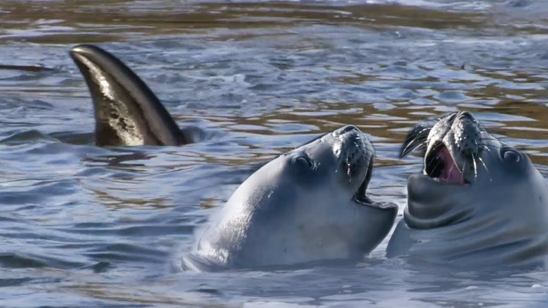 Orca's Extraordinary Hunting Technique A Perfect Planet BBC Earth