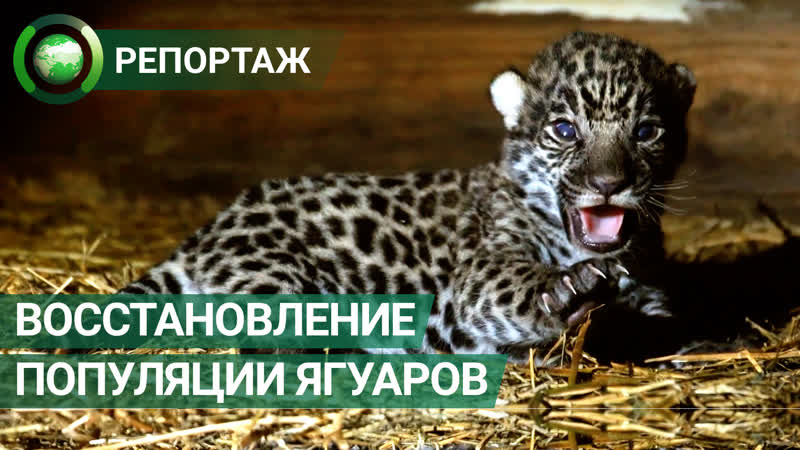 Популяцию ягуаров в дикой природе восстанавливают в Аргентине ФАН ТВ