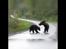 Два медведя схлестнулись в безумной схватке. Боль, ярость, унижение. Делаем ставки, кто победит!