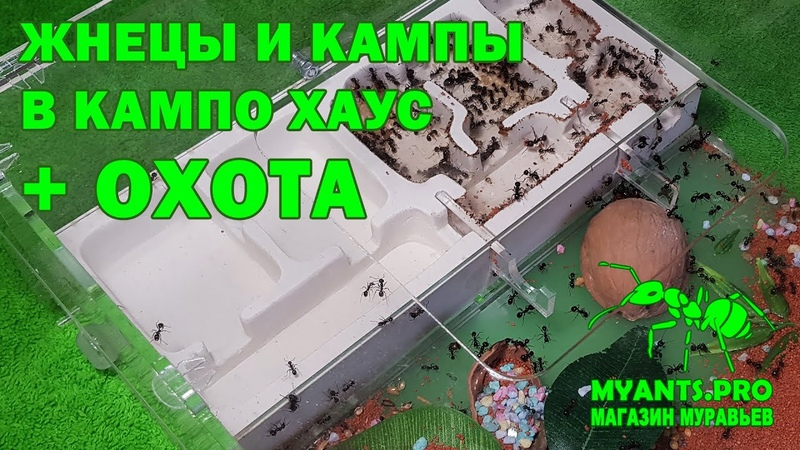 Ферма Кампо Хаус для муравьев Париусов и Жнецов Messor Camponotus месяц спустя