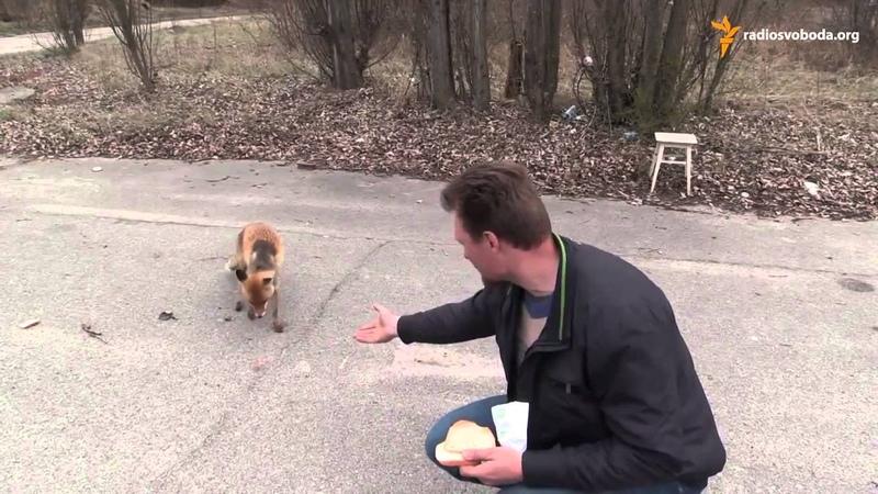 Вот это прикол Чернобыльский Лис Делает Бутерброд Chernobyl Fox To Make a Sandwich