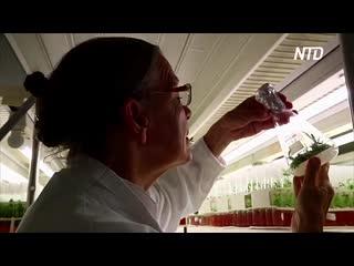 Как древнее растение поможет современному сельскому хозяйству