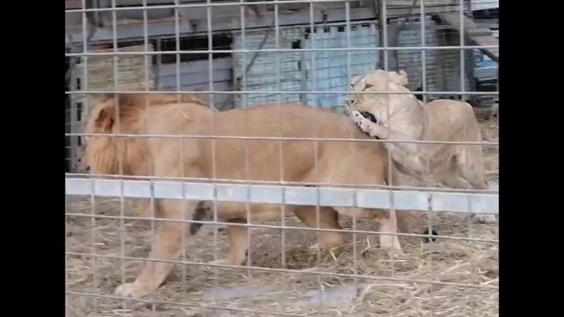 УРА ЦИРК ПРИЕХАЛ Львы и тигры отдыхают перед выступлением