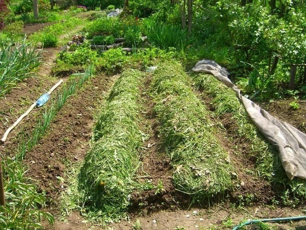 Почему скошенная трава работает лучше, чем сидераты и навоз Кто-то приобретает навоз по осени, кто-то сажает на грядках сидераты, я же пользуюсь простой скошенной травой. Оказывается она