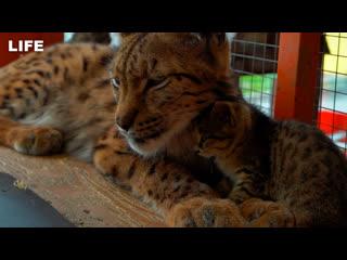 Рысь Алёна усыновила котят в зоопарке Иркутска