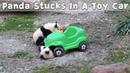 Panda Cub Gets Stuck In A Toy Car | iPanda