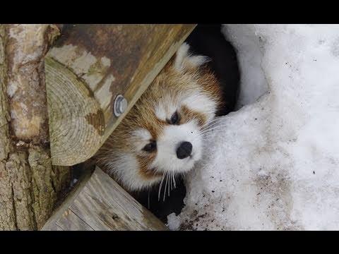 レッサーパンダ 雪穴からこんにちは!〜 Red Panda Hello from the hole of snow