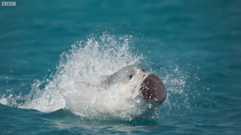 BBC Earth Bird vs fish nowhere is safe BluePlanet2