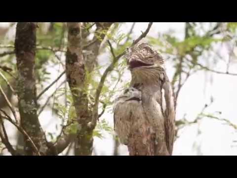 Серый лесной козодой