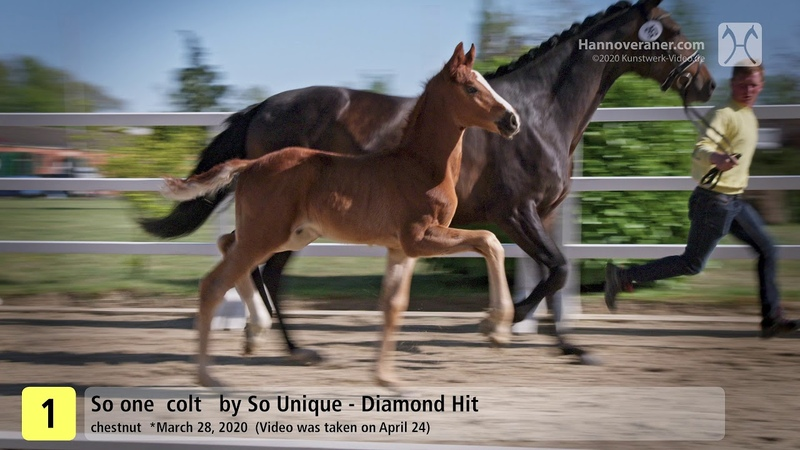 Verden Auction Online - Foals - May 13 to 16 - No. 1 So one by So Unique - Diamond Hit