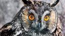 Выпуск ушастых сов попечителями