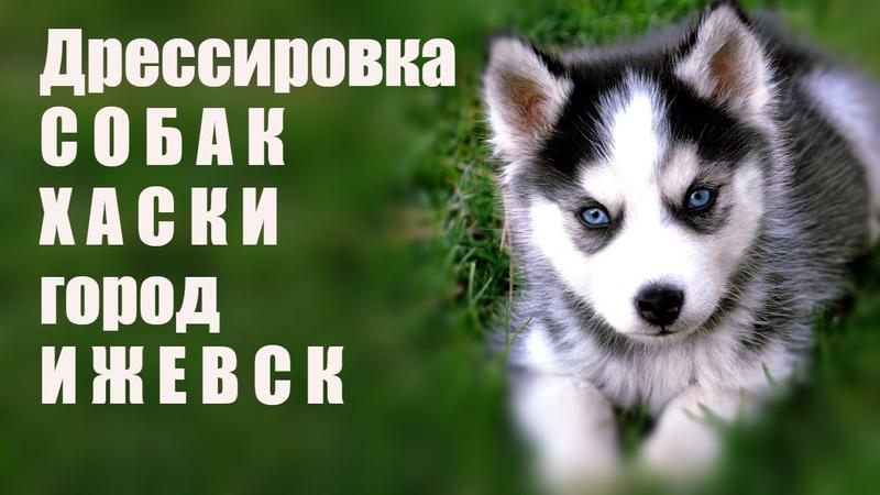 Дрессировка собак Ижевск Хаски город Ижевск