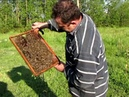 Осмотр ловушки роевых пчел