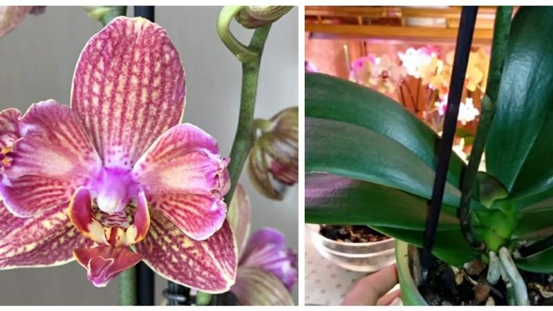 Посадка Орхидеи после Реанимации Phal Dee Dee бабулетка
