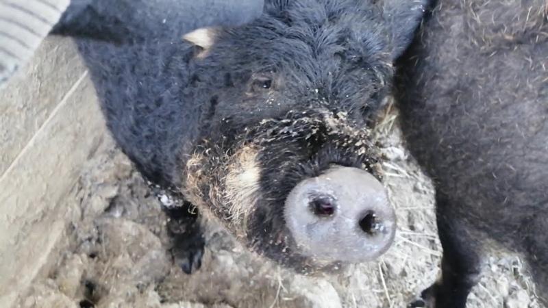 Частное видео Содержание свиней породы венгерская мангалица зимой для Владимира