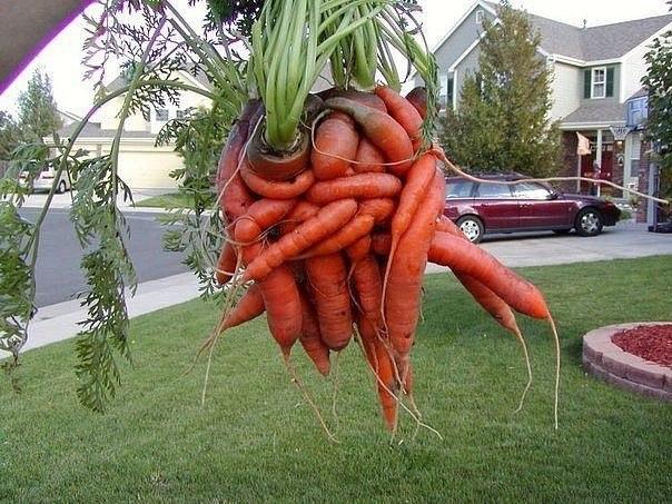 Вот что бывает, если вовремя не проредить морковь