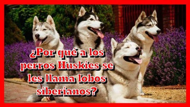 ¿Por qu a los perros Huskies se les llama lobos siberianos?