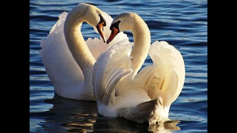 Трогает до глубины души Учитесь верности у лебедей Сергей Варакин