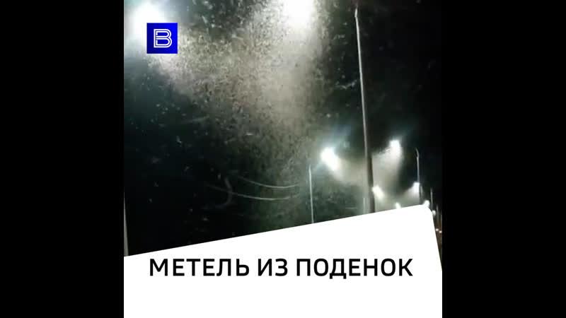 Метель из поденок сняли на видео в Торжке