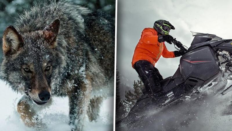 Мужчина спас волчицу с волчатами но спустя 4 года золотоискатель вернулся на тот остров
