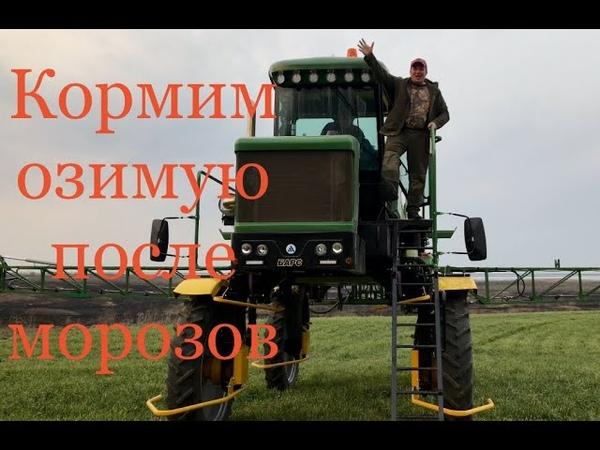 Реанимация озимой пшеницы после заморозков10апреля 2020 г